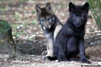 loups de mackenzie nés parc belge