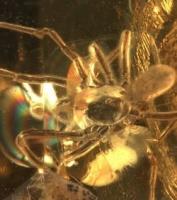 fossile d'acarien sur la tête d'une araignee,ambre, 49 millions d'années