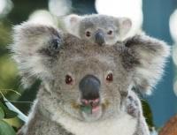 Koala et son bb