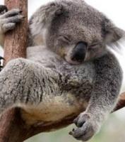 koala assoupi