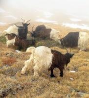 chèvres des glaciers1