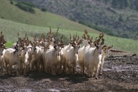 chèvres girgentana de Sicile