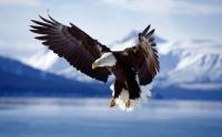 aigle en alaska