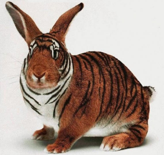 lapin-tigre