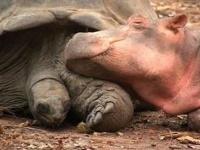 affection petit hippo owen pour une tortue géante
