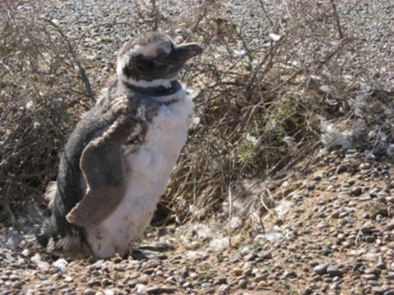 bébé perd ses plumes à Punta Tombo