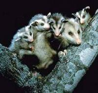 opossum famille