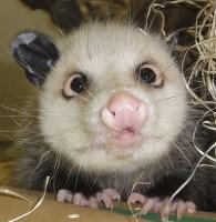 opossum drole de tête