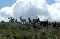 Chèvres à Saint-Etienne-de-Baïgorry (64)