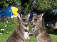 petits kangourous