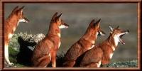 loups d'Abyssinie moins de 500 à l'état sauvage (wiki)
