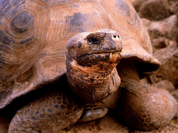 tortue des galapagos