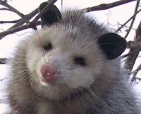 Opossum-18