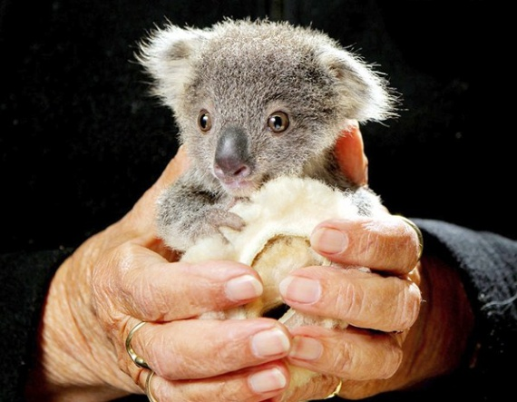 tout petit koala