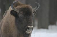 bison biélorusse