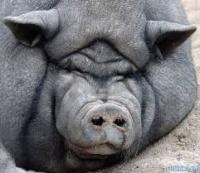 cochon viet
