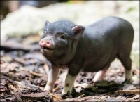 petit cochon viet