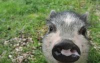 petit cochon1