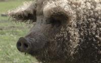 gros cochon qui frise