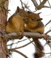 mamours écureuils