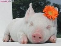 petit cochon marguerite
