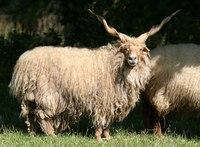 mouton racka de Hongrie avec ses cornes torsadées
