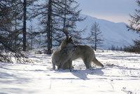 loups siberie3