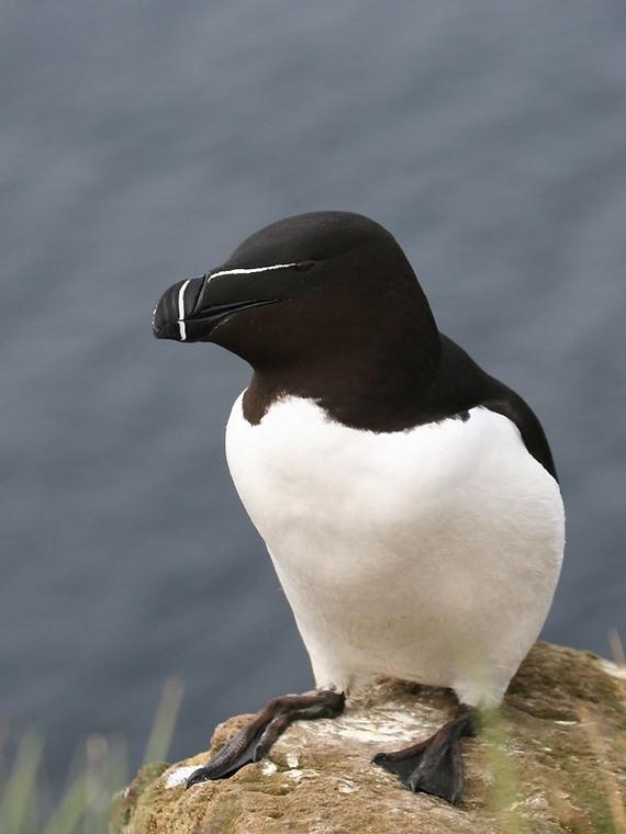 pingouin torda , islande [photo alberto masi]