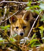 belle photo d'un renard prise par P.Lustrat auteur de ''les animaux sauvages de la forêt de Fontaibl