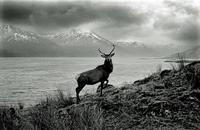 Cerf gris dans les Highlands [photo de jean hervoche]