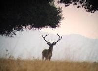 cerf parc national de Cabaneros