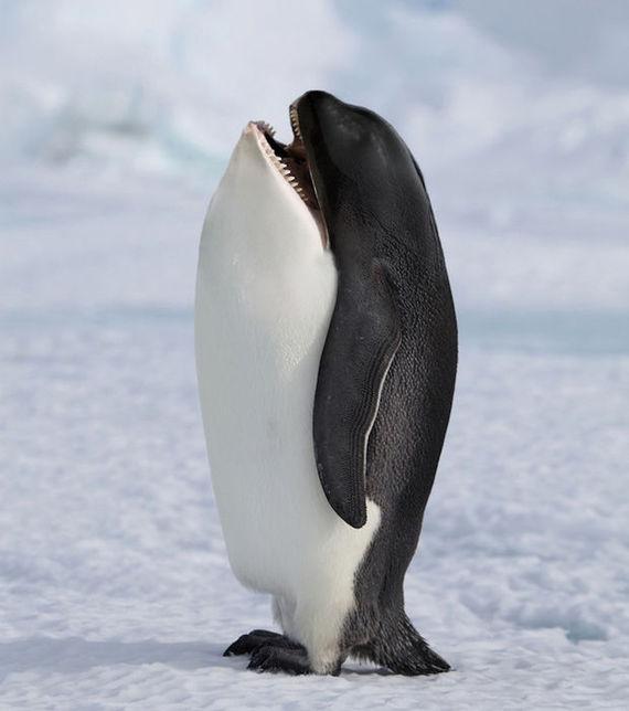 pingouin imitant un orque