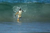 pingouin-islande-falkland