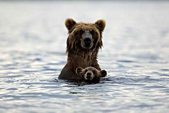 maman grizzly et son bb