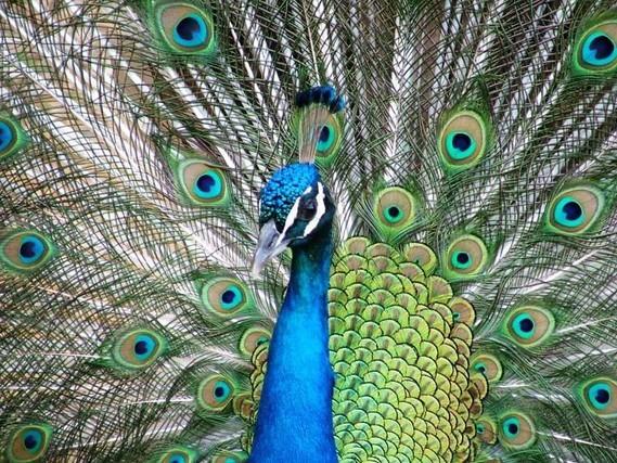 paon plumage123
