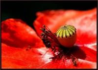 poppy red bud