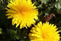 fond d'écran fleur de pissenlit