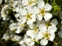 fleurs de poirier
