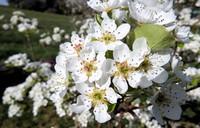 fond d'écran fleurs de poirier