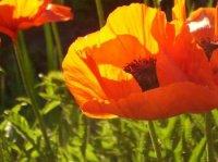 fleur pavot.jpg
