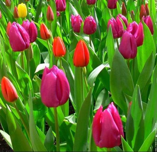 tulipes-01