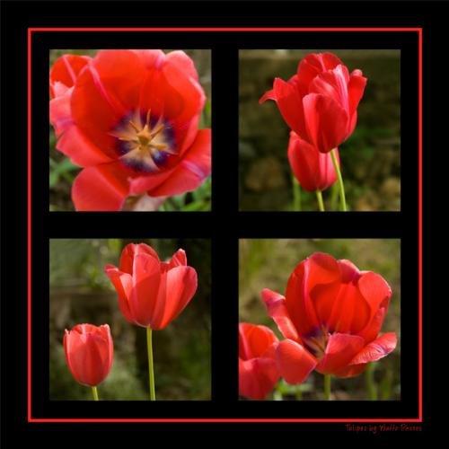 20060517_tulipes_v3