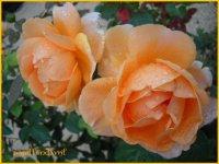belle rose orangée avec rosée