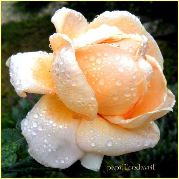 fleurs et beaucoup de rosée