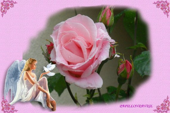 rose et ange
