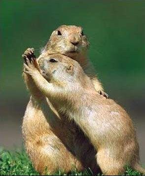 danse des marmottes