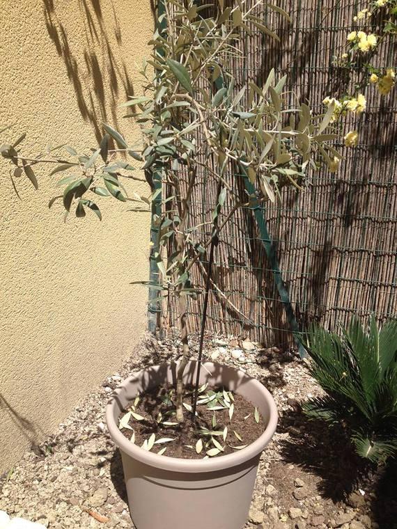 mon olivier perd ses feuilles - jardinage - forum vie pratique