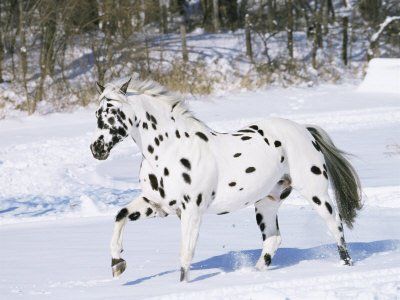 L'image d'avant - Page 2 Cheval-country-appaloosa-inola220100213143209-img