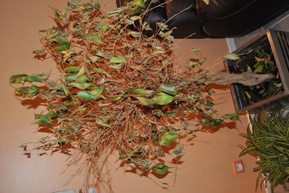 Help aidez mon ficus qui rend l 39 ame jardinage forum vie pratique - Mon olivier perd ses feuilles ...