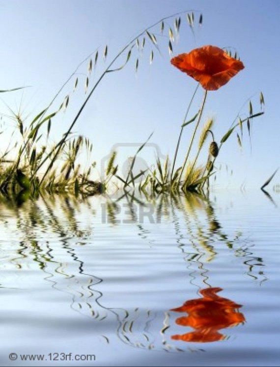 845683-fleur-d-39-un-coquelicot-sur-un-fond-de-ciel-reflet-dans-l-39-eau++